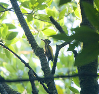 Picture of Common Flameback, Dinopium javanense