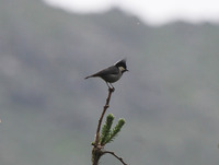 Picture of Rufous-vented Tit, Parus rubidiventris