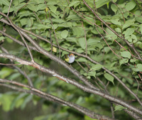 Picture of Chestnut-crowned Warbler, Seicercus castaniceps