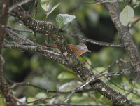 Picture of Streak-throated Barwing, Actinodura waldeni