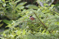 Picture of Black-browed Tit, Aegithalos bonvaloti