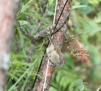 Picture of Spectacled Fulvetta, Alcippe ruficapilla