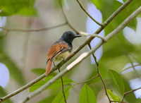 Picture of Rufous-winged Philentoma, Philentoma pyrhoptera
