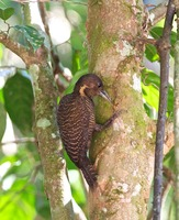 Picture of Buff-necked Woodpecker, Meiglyptes tukki