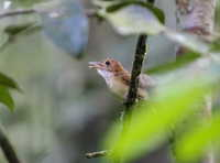 Picture of Ferruginous Babbler, Trichastoma bicolor