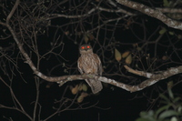Picture of Barking Owl, Ninox connivens