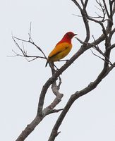 Picture of Flame Bowerbird, Sericulus ardens