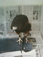Picture of Harris's Hawk, Parabuteo unicinctus