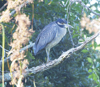 Picture of Yellow-crowned Night-heron, Nyctanassa violacea