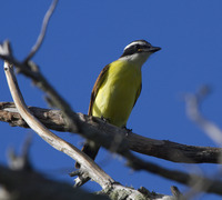 Picture of Great Kiskadee, Pitangus sulphuratus