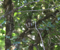 Picture of Costa Rican Pygmy-owl, Glaucidium costaricanum