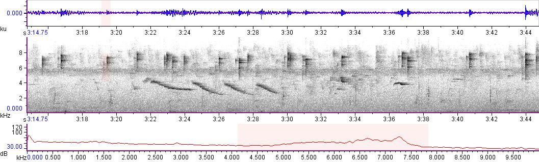 Sonogram of recording #AV 13351